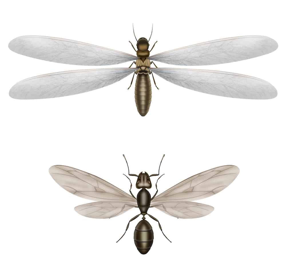 Illustration of differences flying termite from a flying ant